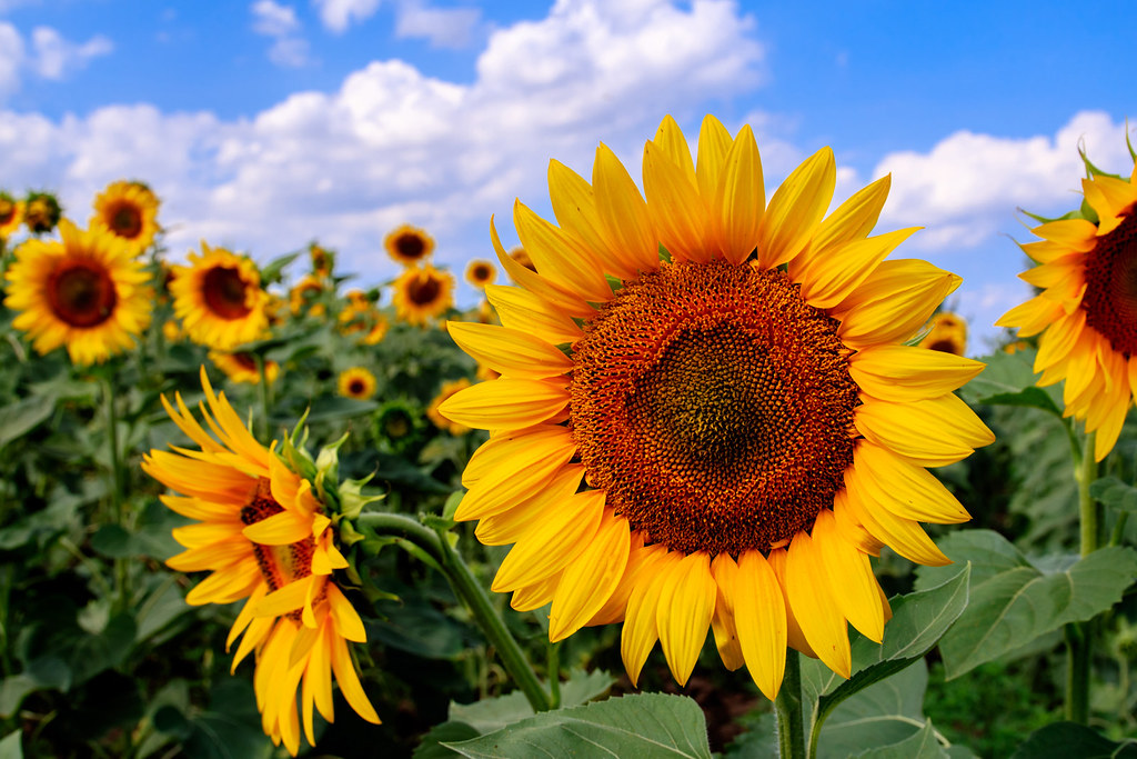 sunflower_sm
