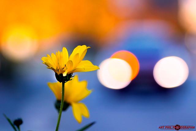 Fleurs Pétales de couleurs et Bokeh du Soir