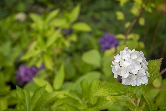 Dart Hill Hydrangea seedlings,Macro White