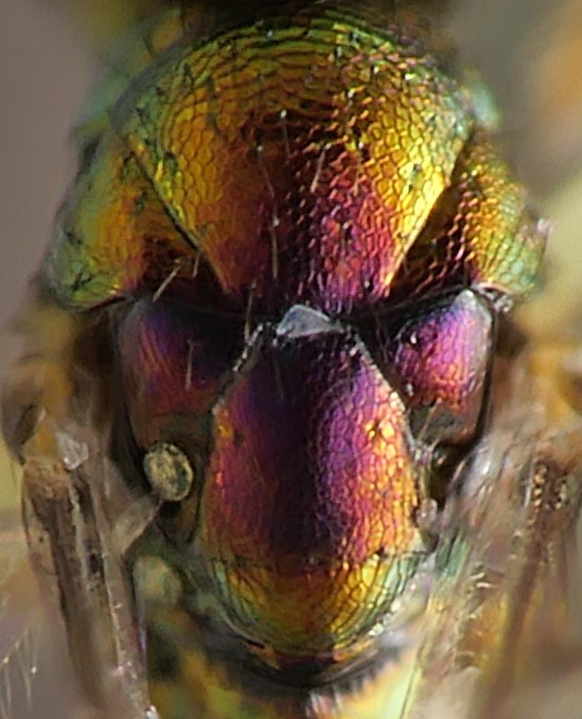 Hymenoptera Chacidoidea Eulophidae 010821P1255487