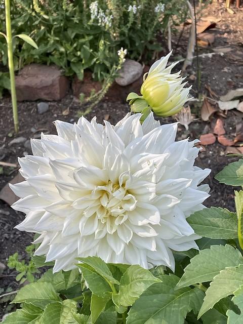 Big white large dahlia!!