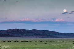 Moon & Cattle - Jeff Davis County, Texas
