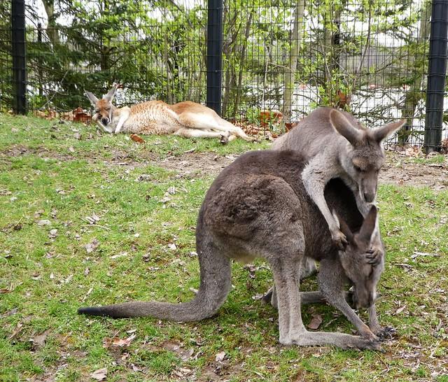 Columbus Zoo - Kangaroos