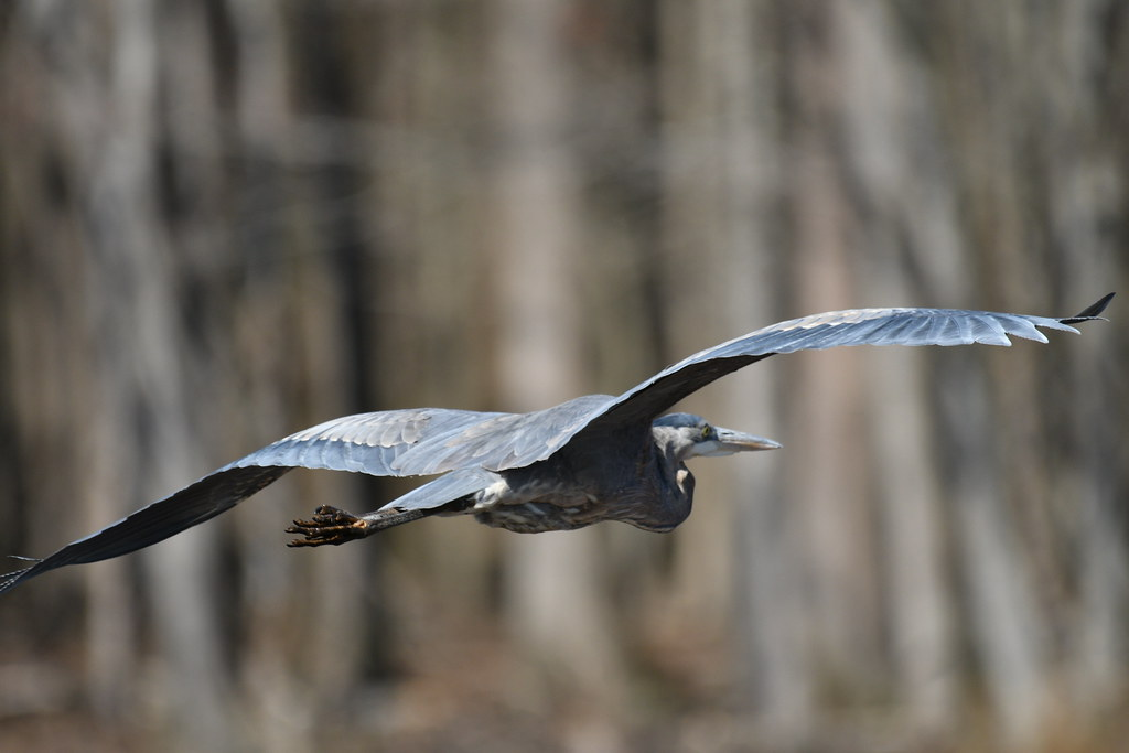 huntley-meadows-heron_33195926042_o