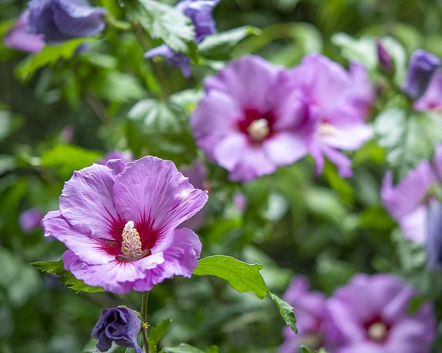 Hibiscus syriacus 'Woodbridge', 'Woodbridge', Rose of Sharon
