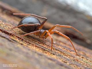Comb-footed spider (Coscinida sp.) - P6270398