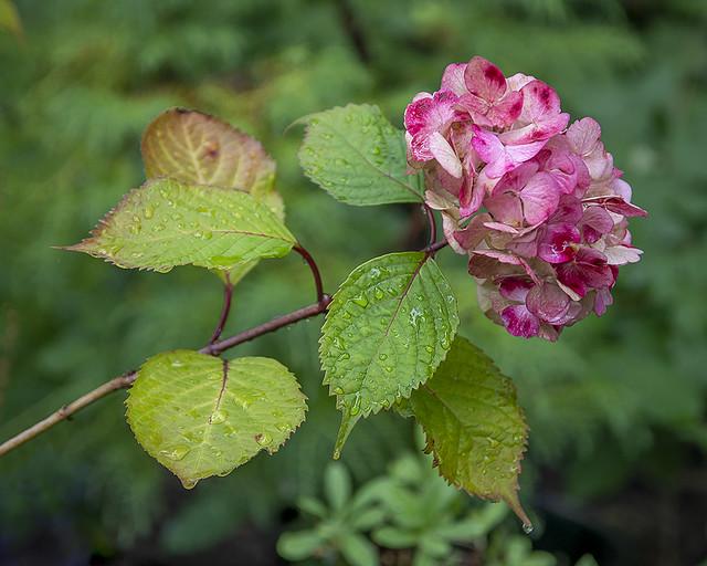Hydrangea 'Macro' Deep Pink, Darts Hill Seedling