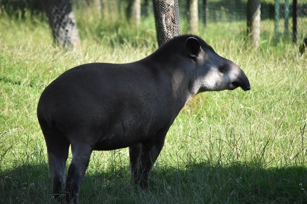 Lowland Tapir [Tapirus terrestris]