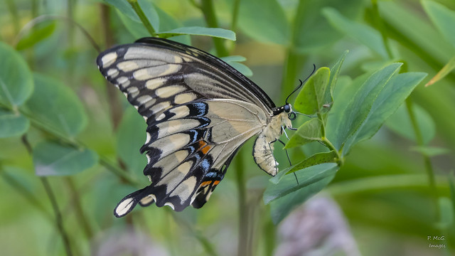 Swallowtail  7790