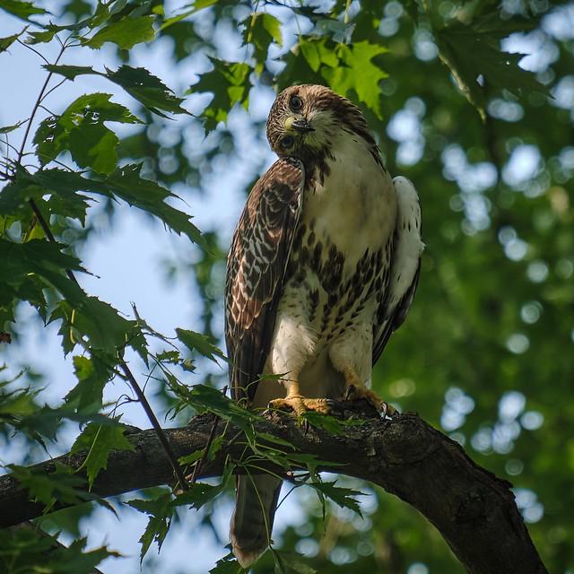 Hawk-Eyes - Red-Tailed Juvenile
