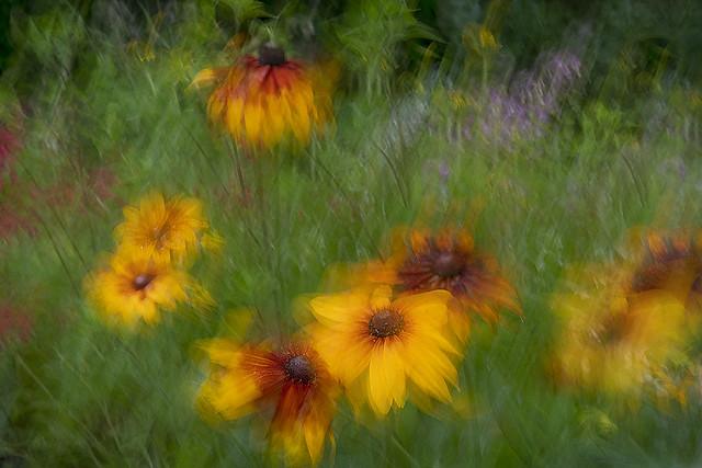 Gaillardia -  Blanket Flowers in Motion