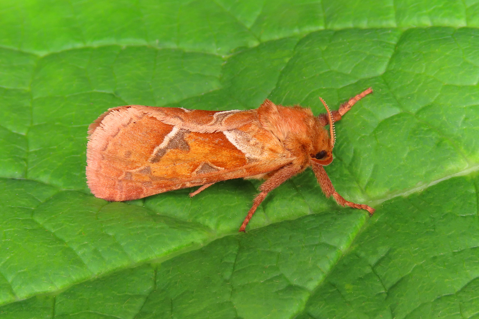 03.001 Orange Swift - Triodia sylvina
