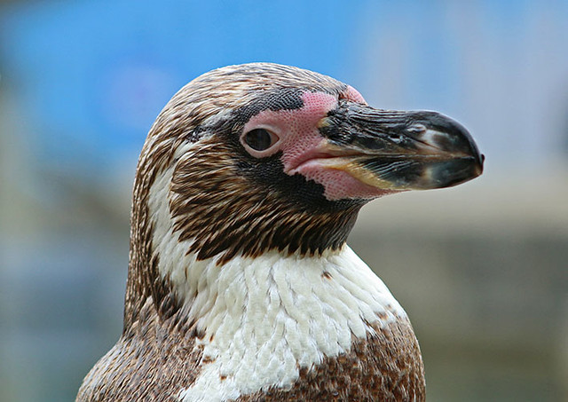 Humboldt Penguin - Marwell Zoo