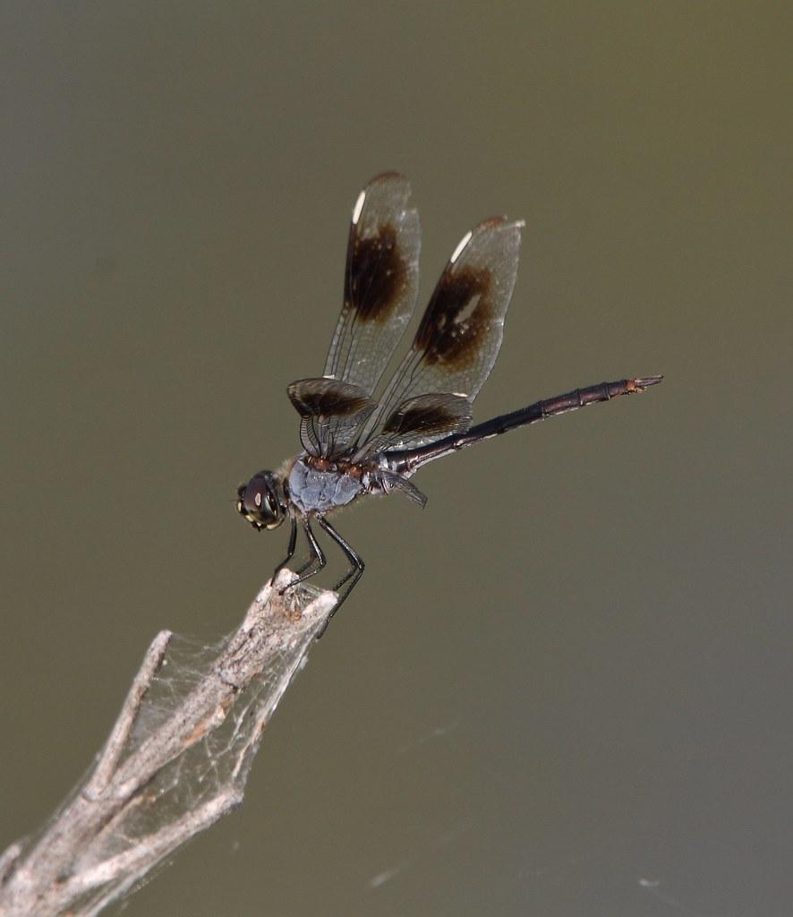Brachymesia gravida, Four-spotted Pennant