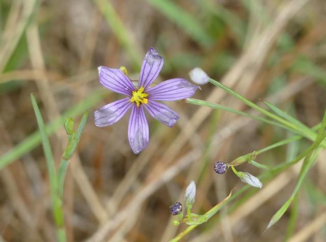 Tiny meadow flower
