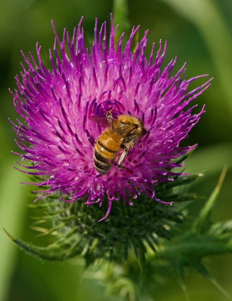 Bull Thistle with bee 210712 -06