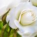 White Rose & Rosebuds, 4.24.18