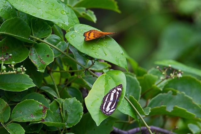 Common Sailor (Neptis hylas papaja) - Air Hitam Dalam Forest Reserve, Pulau, Penang, Malaysia