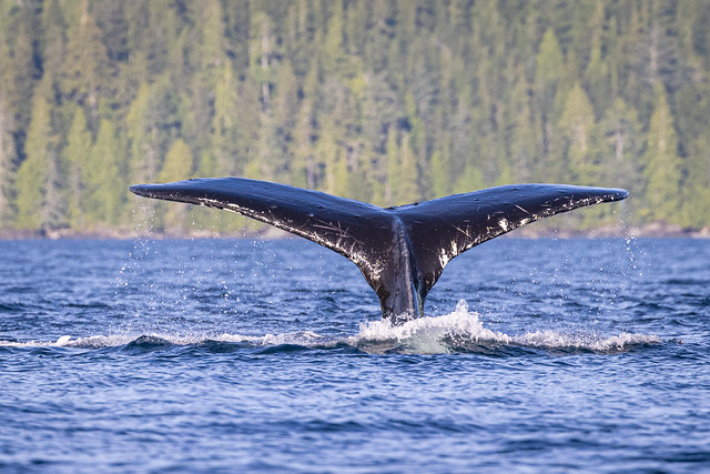 Hampback whale tail when diving toward you.