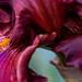 Iris Detail, 4.25.18