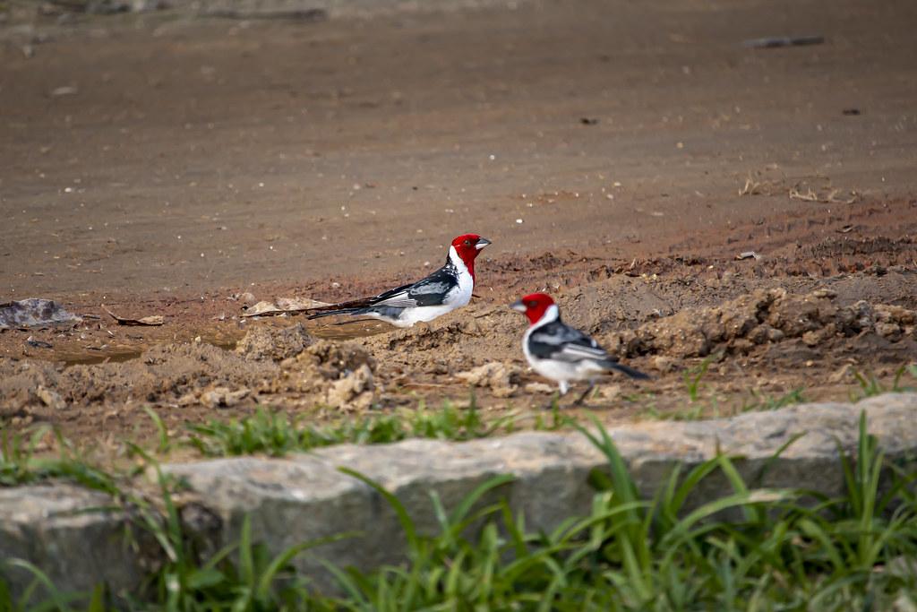 Red-cowled Cardinal (Paroaria dominicana) in Rio de Janeiro, Brazil