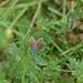 Hauhechelbläuling (Polyommatus icarus)