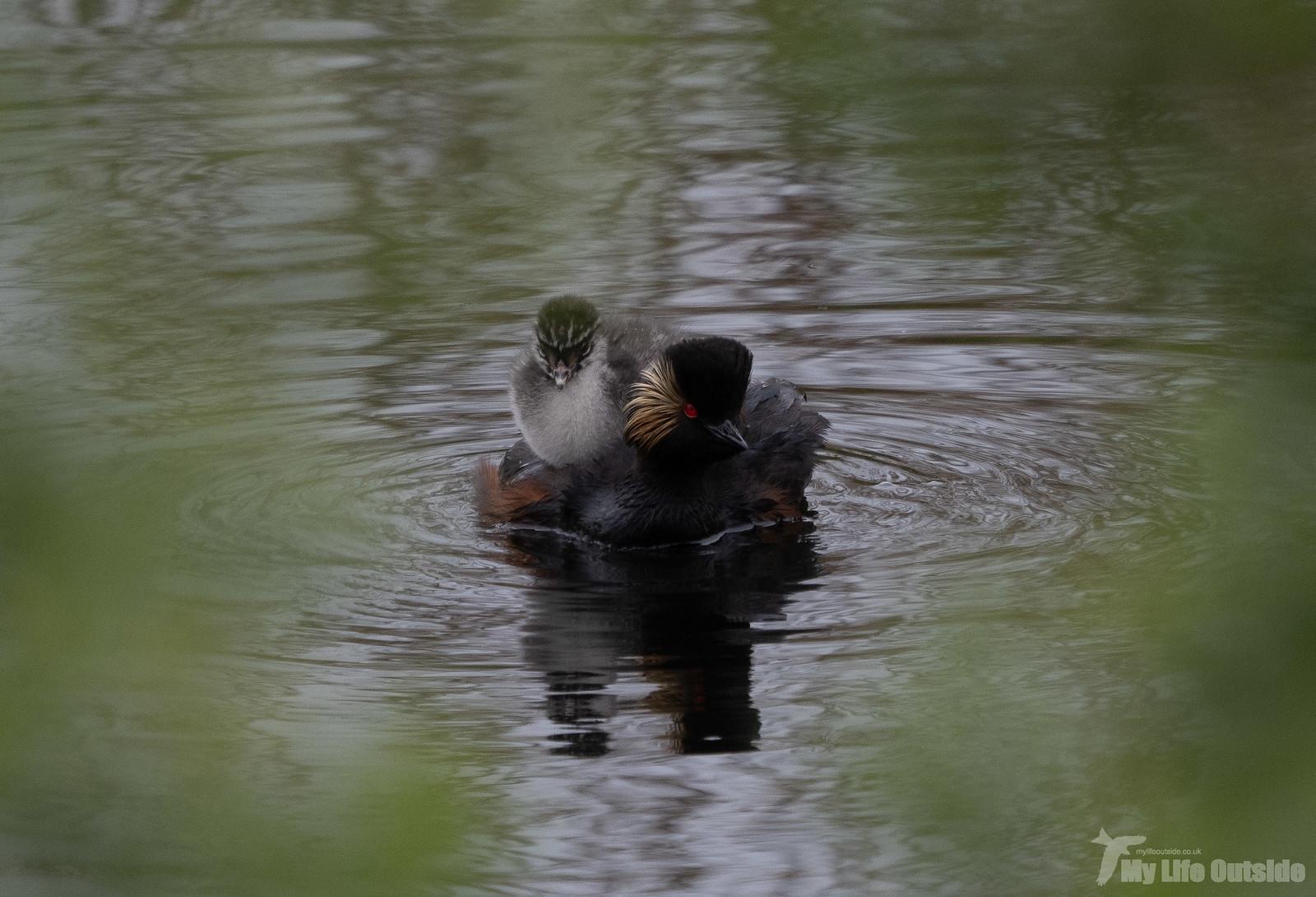 P5142102 - Black-necked Grebe, St Aidan's