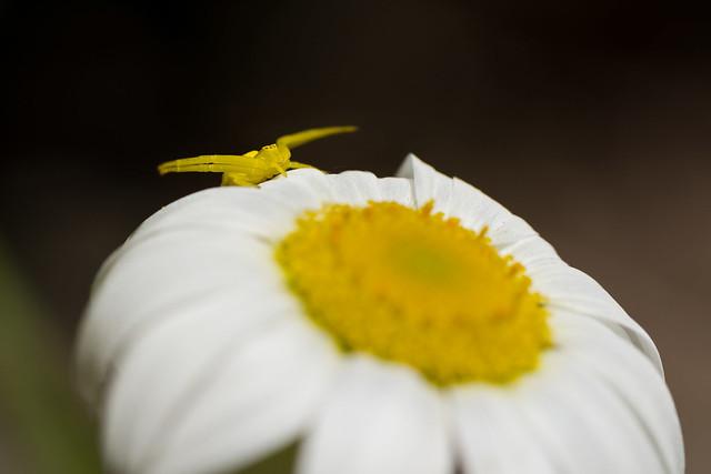 Thomise variable / Misumena vatia / Crab spider
