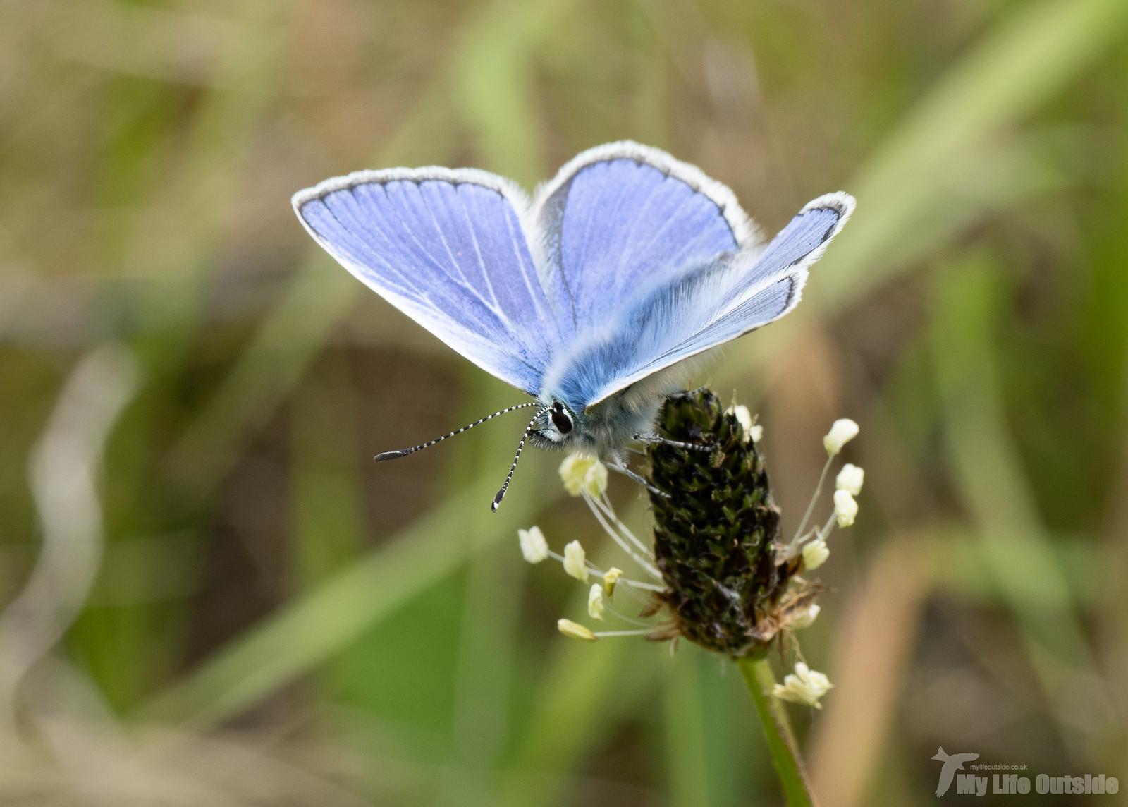 P6043020 - Common Blue