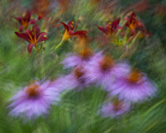 Chorus of  Coneflowers and Day Lilies