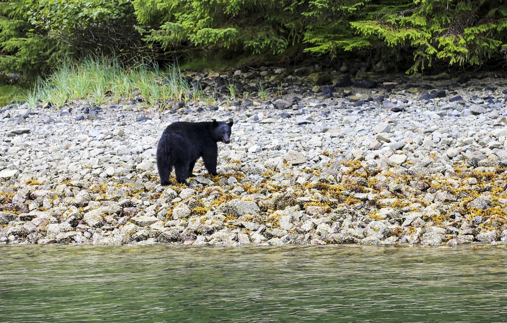Black Bear Haida Gwaii BC Canada