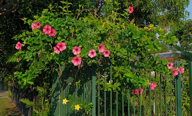 Pink Allamanda (Cherry Ripe hybrid) - home garden, Darwin, NT, Australia