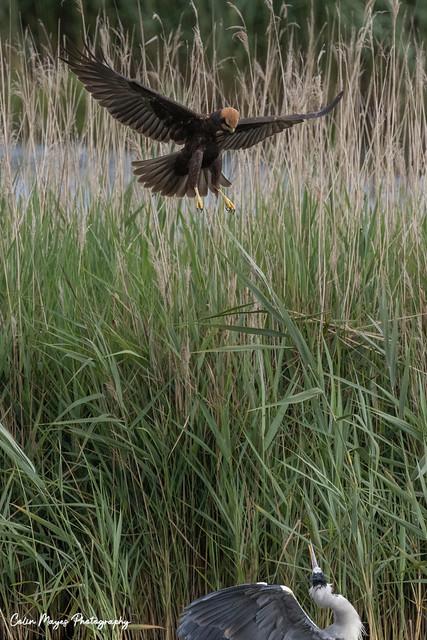 marsh harrier and slightly worried heron