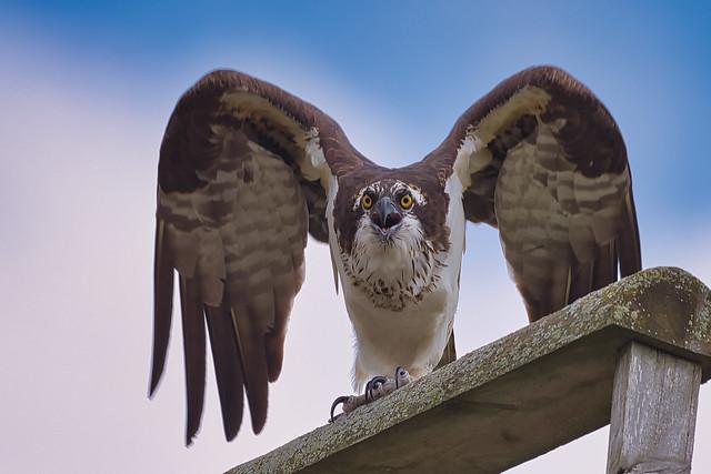 Osprey alert
