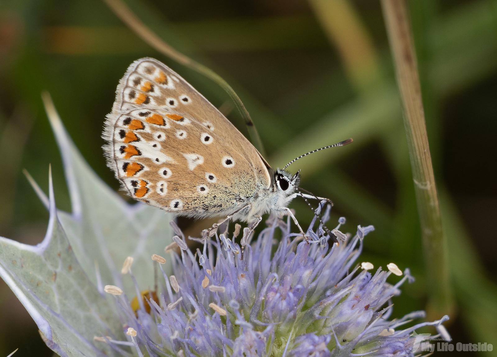 P7314076 - Common Blue, Hill End