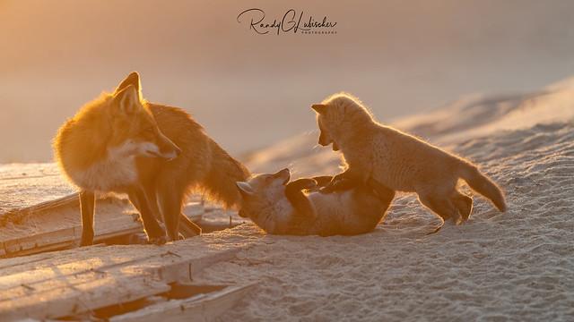 Red Fox | Vulpes Vulpes | 2021 - 50