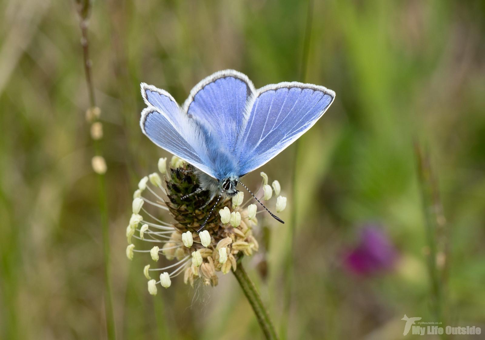 P6043011 - Common Blue