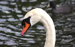 Swan!