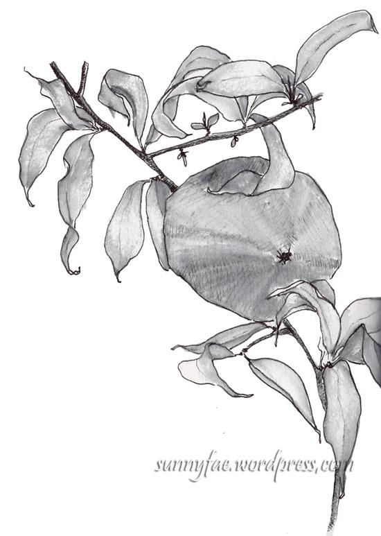 ink sketch of quince fruit