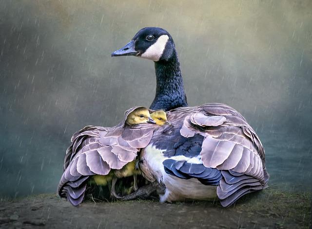 Sheltering the Goslings