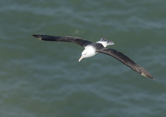 Black Browed Albatross  Bempton RSPB Yorkshire England July 2021