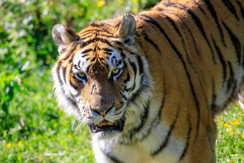 PiX  - Eric Gillard | Tigre