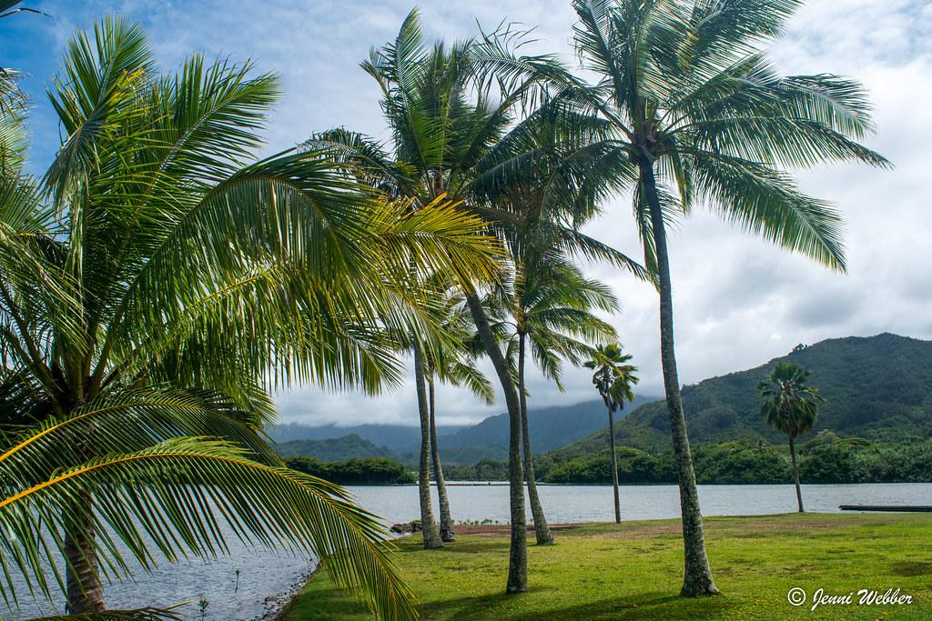 Hawaii palm trees 2