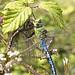 Emperor dragonfly_3713