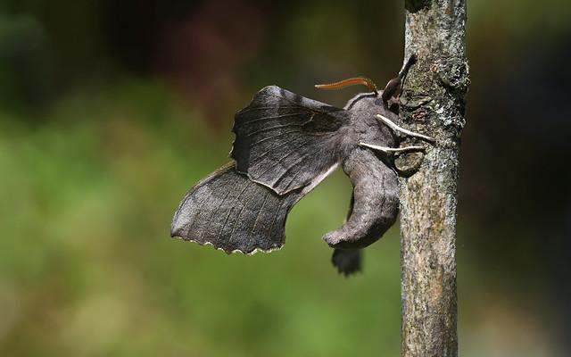 Poplar Hawk-moth (Laothoe populi) 1 of 3