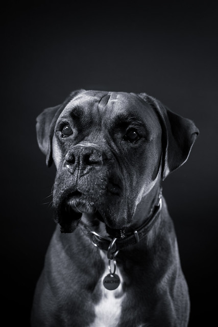 Looks as if butter would not melt in his mouth. Fine art portrait in black & white of Archie, the full grown boxer dog.