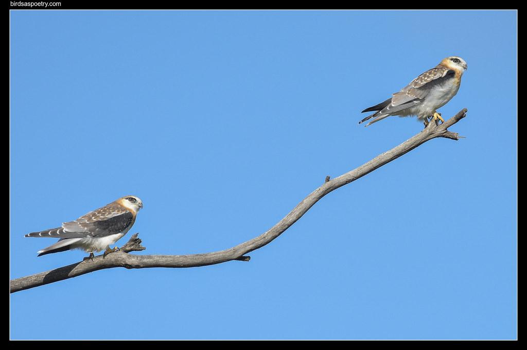 Black-shouldered Kite: Fresh Pressed