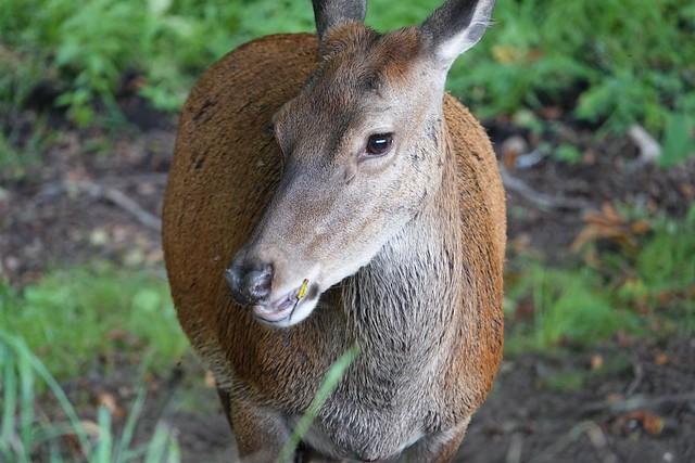Red Deer - Wollaton Park Nottingham UK