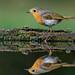 Rödhake(Erithacus rubecula)European Robin