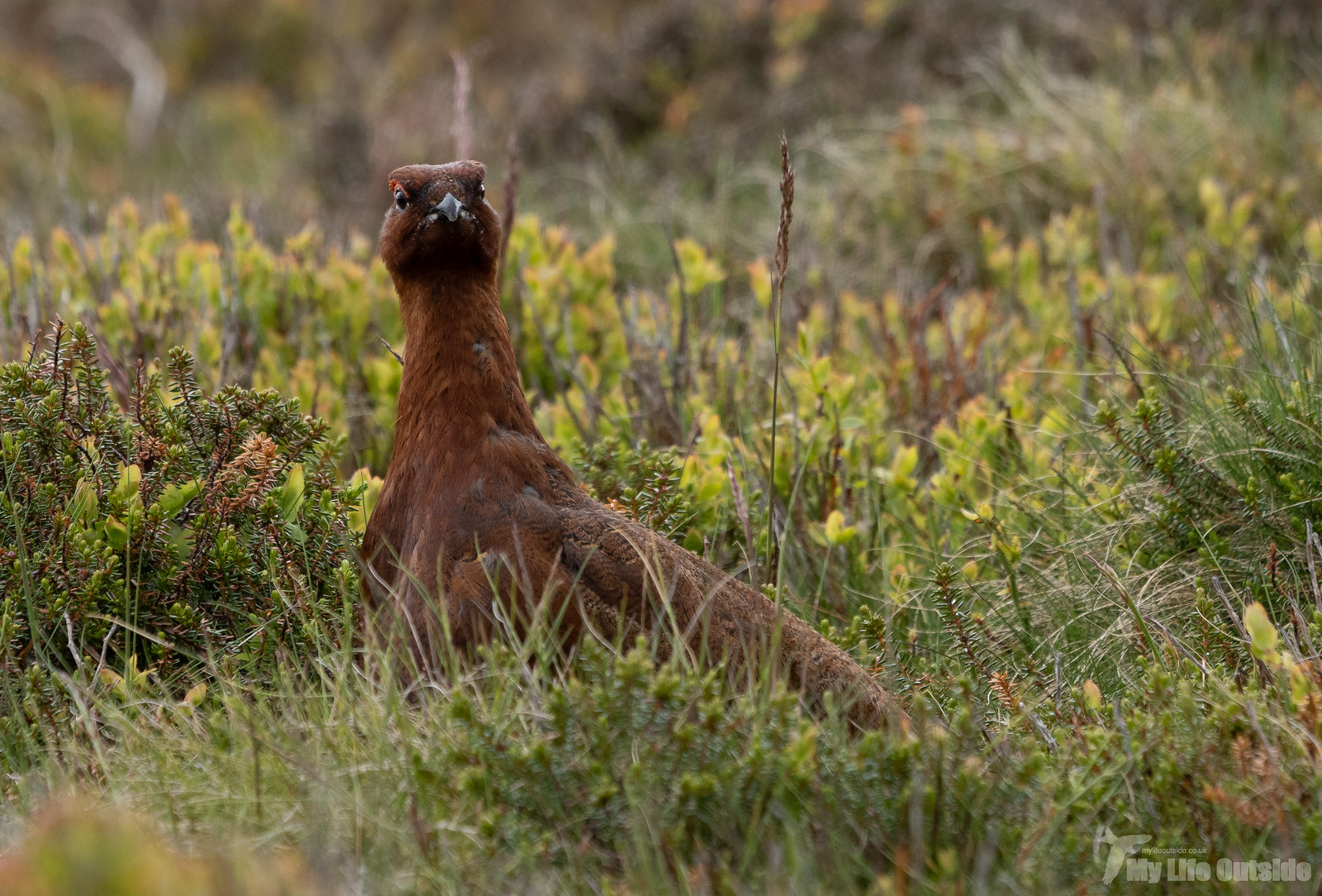 P5212383 - Red Grouse, Ilkley Moor